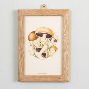 Edible and Poisonous Fungi lithographs, Psalliota campestris