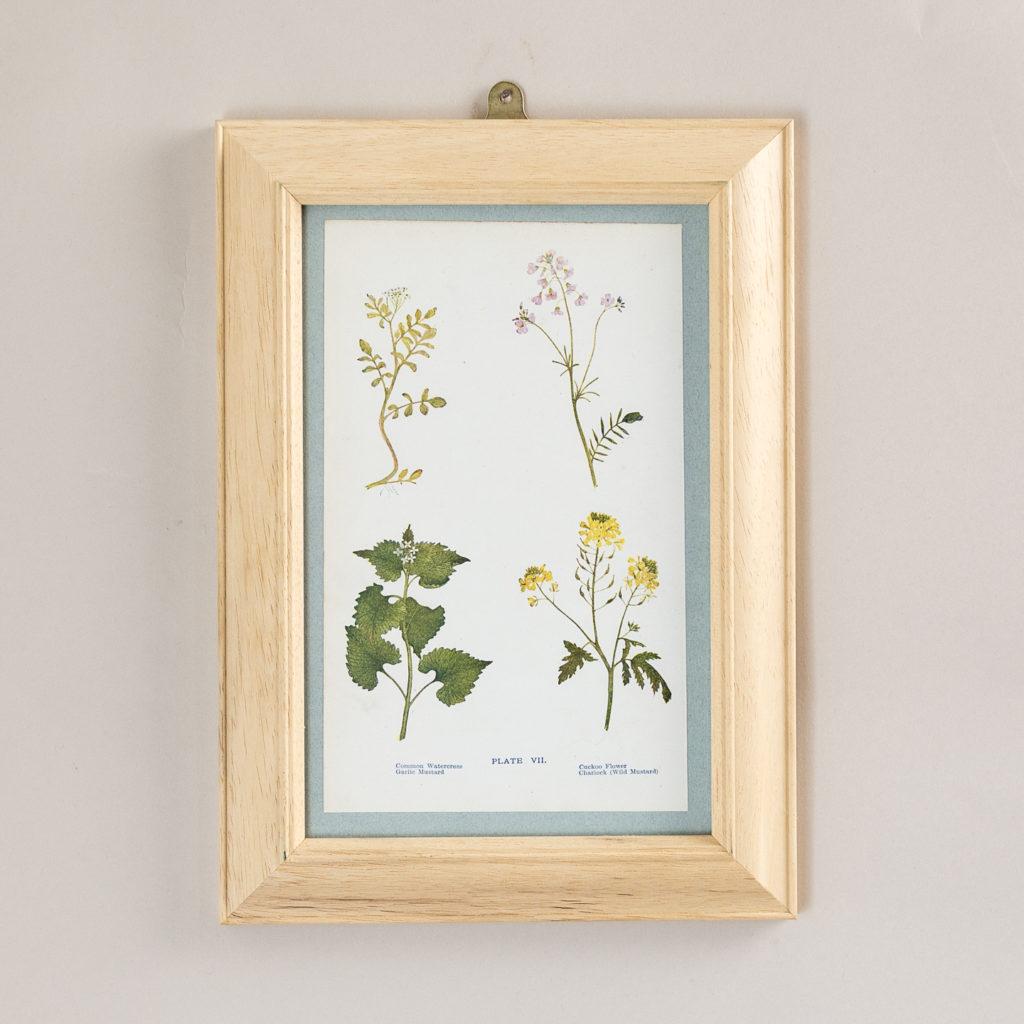 Plate 7. Common Watercress Garlic Mustard. Cuckoo Flower. Charlock (Wild Mustard).