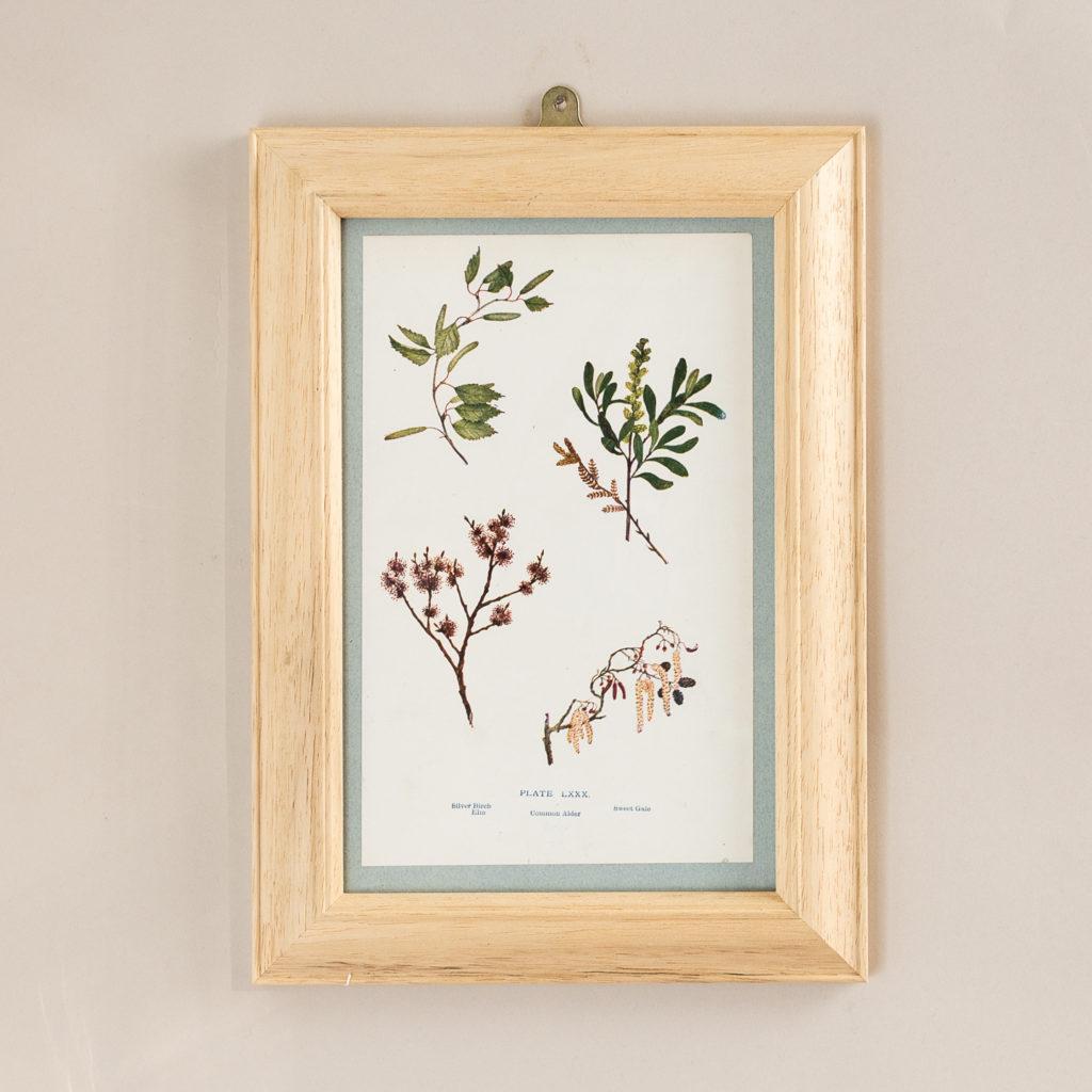 Plate 80. Common Alder. Silver Birch Elm. Sweet Gale.