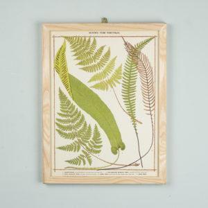 Life-size chromolithographs of British ferns published c1885. In plain ash frame
