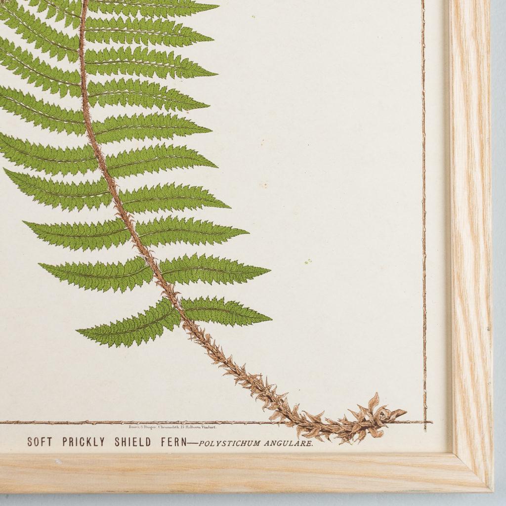 Soft Prickly Shield Fern