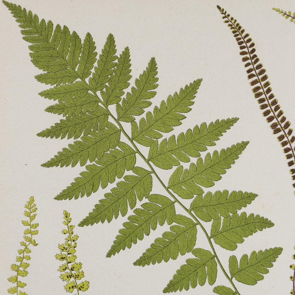 Crested Buckler Fern and Spleenworts