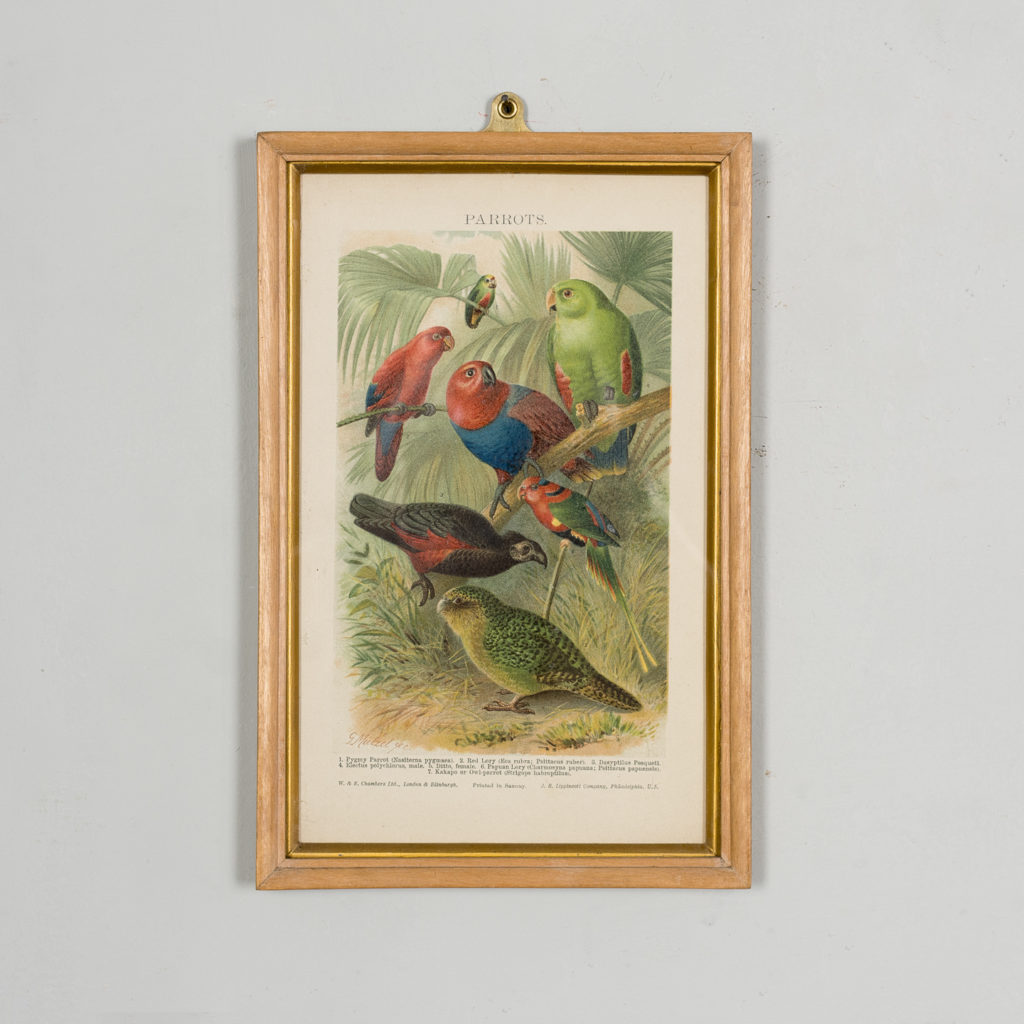 Nineteenth century chromolithograph of parrots