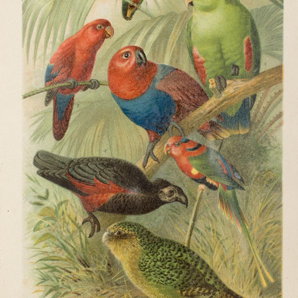 Parrots, natural history print-137995