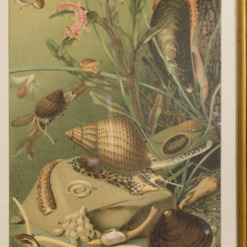 Mollusca, natural history print-137997