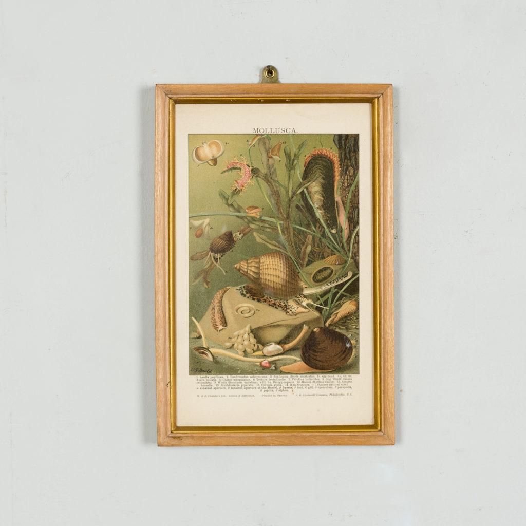 Nineteenth century chromolithograph of mollusca