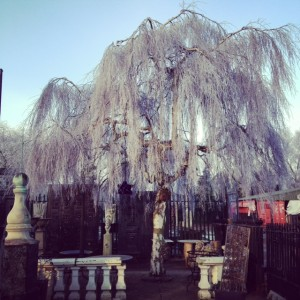 Weeping birch caught by the frost at LASSCO Three Pigeons